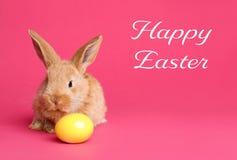 Uroczy owłosiony Wielkanocny królik i farbujący jajko na koloru tle obraz royalty free