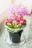 Uroczy pierwiosnek kwitnie w garnku na windowsill zdjęcia royalty free