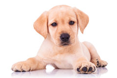 Uroczy posadzony Labrador retriever szczeniaka pies fotografia royalty free
