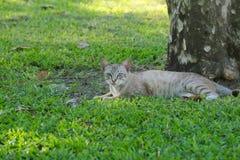 Uroczy, przybłąkany, bezdomny, popielaty, biały i pasiasty dębny kot, lounging w ładnej trawie, cieszy się drzewnego cień w luksu Zdjęcie Royalty Free