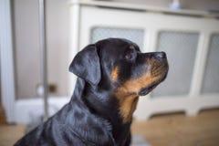 Uroczy raźny Rottweiller strony profilu czekanie dla fundy Zdjęcia Stock
