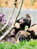 Uroczy Rabatowego Terrier szczeniaki bawić się w ogródzie Obraz Stock