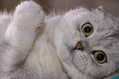 Uroczy srebny szynszylowy Szkocki fałdu kot zdjęcie stock