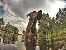 Uroczy stary Rhodesian Ridgeback samiec pies Zdjęcie Stock