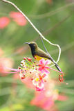 Uroczy sunbird na kwiacie Barbadose dumy drzewo Fotografia Stock