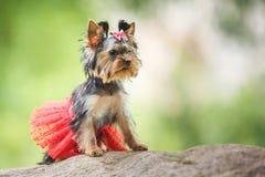 Uroczy szczeniak kobiety Yorkshire Terrier mały pies z czerwieni spódnicą na zieleni zamazywał tło zdjęcia royalty free