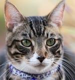 Uroczy Tabby kota portreta zakończenie Up z kołnierzem dalej Obraz Stock