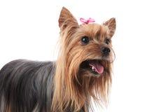 Uroczy Yorkshire teriera kobiety pies z usta otwartym zdjęcia royalty free