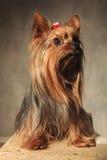 Uroczy Yorkshire teriera szczeniaka psa obsiadanie fotografia royalty free