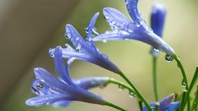 Uroczych purpura kwiatów Zamazany tło zdjęcie royalty free
