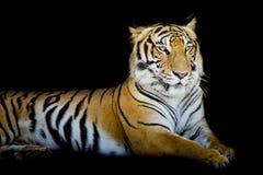 Uroczysty tygrys Fotografia Royalty Free