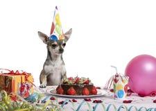 urodzinowego chihuahua kapeluszu stołowy target1834_0_ Obraz Royalty Free