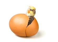 urodzonego cockatiel śliczna nowa papuga Obrazy Royalty Free