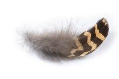 Urogallo de Perot (umbellus del Bonasa) Imagen de archivo libre de regalías