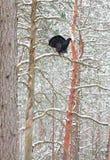 Urogallo masculino que exhibe en un bosque del pino Imagenes de archivo