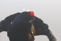 Urogallo nero che osserva attraverso la nebbia Immagini Stock Libere da Diritti