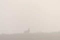 Urogallo nero nella nebbia Fotografie Stock Libere da Diritti