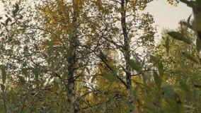 Urogallo pardo en árbol almacen de video