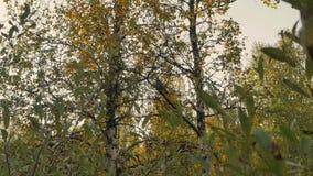 Urogallo pardo en pechora del árbol de abedul almacen de metraje de vídeo