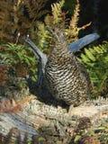 Urogallo Spruce en maleza del bosque Fotografía de archivo libre de regalías