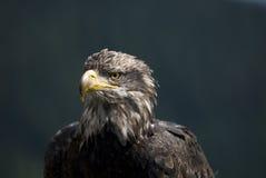 urogallo vicino dell'uccello in su fotografia stock