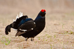 Urogallos negros en la crianza de plumage-007 Foto de archivo libre de regalías
