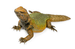 Uromastyx Stock Photos