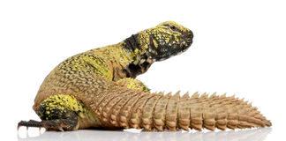 Uromastyx acanthinura (4 years old) stock image