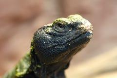 Uromastyx est un genre des lézards d'agamid africains et asiatiques Photographie stock