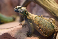 Uromastyx est un genre des lézards d'agamid africains et asiatiques Photos libres de droits