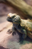 Uromastyx is a genus of African and Asian agamid lizards Stock Image