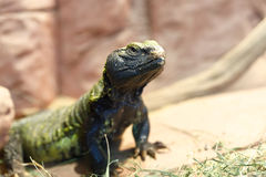 Uromastyx is a genus of African and Asian agamid lizards Royalty Free Stock Photo