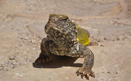 Uromastyx geyri. Commonly known as the Saharan Uromastyx, Saharan Spiny-tailed Lizard or Geyr's Dabb Lizard, is a species of lizard belonging to the family Royalty Free Stock Photo