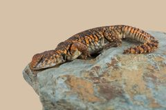Saharan Spiny Tailed Lizard Uromastyx Geyri royalty free stock photos