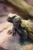 Uromastyx jest genus Afrykańskie i Azjatyckie agamid jaszczurki Obraz Stock