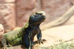 Uromastyx jest genus Afrykańskie i Azjatyckie agamid jaszczurki Zdjęcie Royalty Free