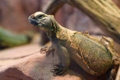 Uromastyx jest genus Afrykańskie i Azjatyckie agamid jaszczurki Zdjęcia Royalty Free