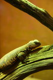 Uromastyx lizard Royalty Free Stock Photo