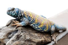 Uromastyx ornata Royalty Free Stock Images