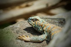 Ornate Mastigure & x28;Uromastyx Ornata& x29;. Uromastyx ornata, commonly called the ornate mastigure, is a species of lizard in the family Agamidae. The species royalty free stock photography