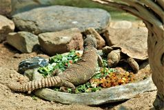 Ornate Mastigure Uromastyx Ornata. Uromastyx ornata, commonly called the ornate mastigure, is a species of lizard in the family Agamidae. The species is endemic stock photography
