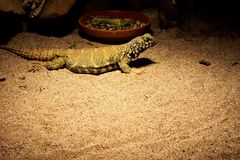Uromastyx ornata laying in the sand royalty free stock image