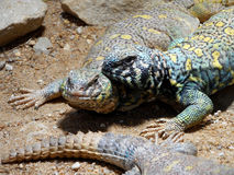 Uromastyx ornata. Two beautiful faces of colorful lizards Royalty Free Stock Photo