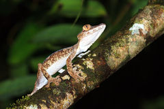 Uroplatus fimbriatus tree Stock Image