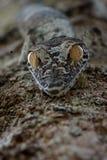 Uroplatus gecko i Madagascar royaltyfri foto