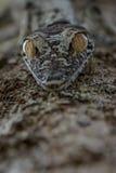 Uroplatus gecko, Madagascar arkivfoton