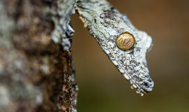 Uroplatus gecko in Madagascar. Uroplatus gecko hanging vertically on tree trunk with its head down. Its their resting position during daytime.they are nocturnal stock photography