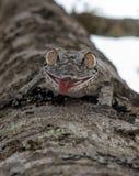 Uroplatus gecko ,Madagascar. Stock Images