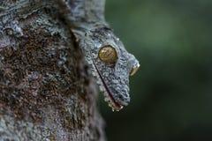 Uroplatus gekon, Madagascar Zdjęcie Royalty Free