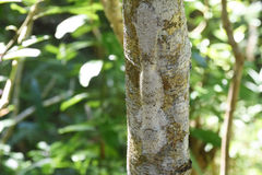 Uroplatus Henkeli, лес Lokobe, любопытный, Мадагаскар Стоковые Изображения
